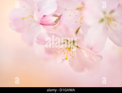 Cherry blossom, North Yorkshire, Yorkshire, England, United Kingdom, Europe - Stock Photo