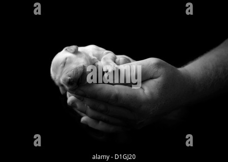 Holding newborn labrador puppy in hands - Stock Photo