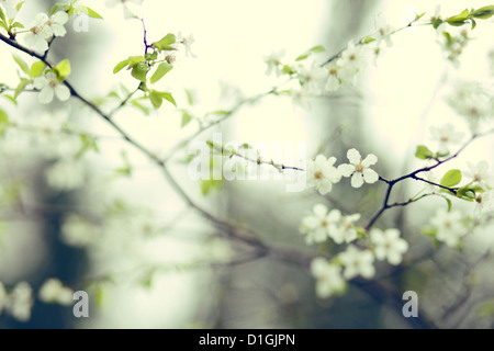 A close up of cherry blossom in bloom in the spring - Stock Photo