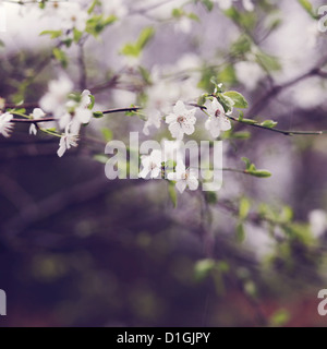 Close up of cherry blossoms in bloom - Stock Photo