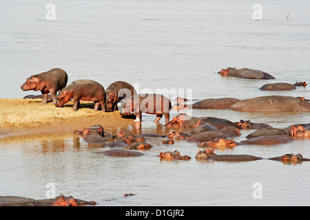 A group of young hippos in the Zambezi river - Stock Photo