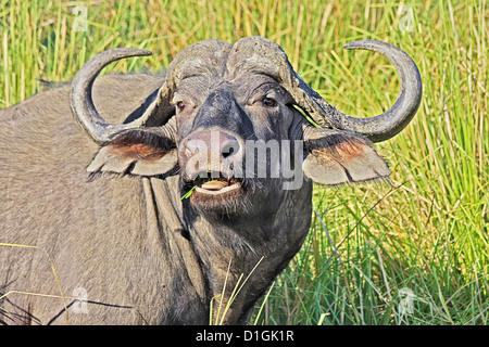 African Buffalo chewing in the Lower Zambezi region - Stock Photo