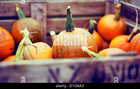 Bright pumpkins in a crate for Halloween - Stock Photo