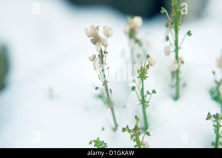 Little green and white plants growing through deep snow - Stock Photo
