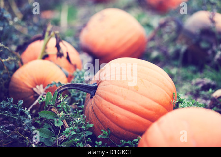 Close up of orange pumpkins in a pumpkin field. - Stock Photo
