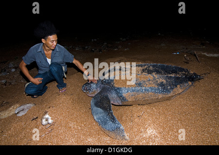 Turtle warden with nesting Leatherback turtle (Dermochelys coriacea), Shell Beach, Guyana, South America - Stock Photo