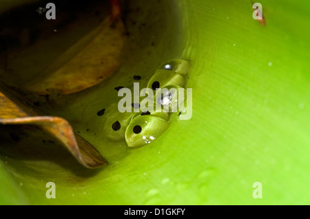 Spawn of the Golden Rocket Frog (Anomaloglossus beebei) in giant tank bromeliad, Kaieteur National Park, Guyana - Stock Photo