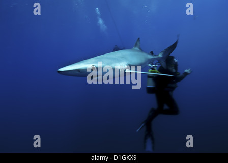 Blue shark (Prionace glauca) in the Azores, Portugal, Atlantic, Europe - Stock Photo