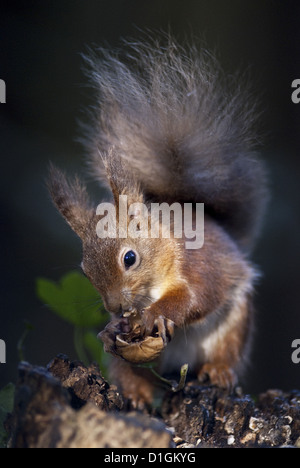 Red squirrel (Sciurus vulgaris) eating nuts in a wood, United Kingdom, Europe - Stock Photo