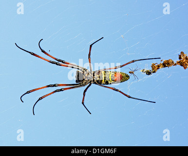 Madagascan Golden Orb Spiders (Nephila madagascariensis) about to mate - Stock Photo