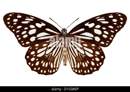Butterfly species Tirumala limniace 'Blue Tiger' - Stock Photo