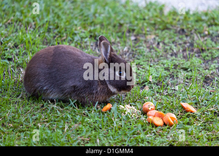 The meal of a tamed dwarf rabbit (Oryctolagus cuniculus) living in relative liberty.  Le repas d'un lapin nain apprivoisé. - Stock Photo