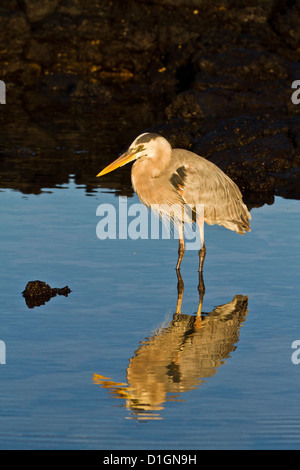 Great blue heron (Ardea herodias), Cerro Dragon, Santa Cruz Island, Galapagos Islands, UNESCO World Heritge Site, - Stock Photo