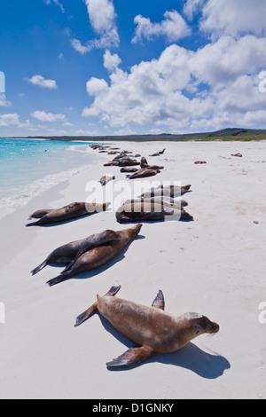 Galapagos sea lions (Zalophus wollebaeki), Gardner beach, Santiago Island, Galapagos Islands, Ecuador, South America - Stock Photo
