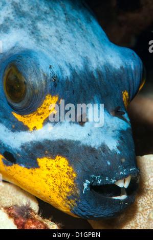 Black spotted pufferfish (Arothron nigropunctatus), Sulawesi, Indonesia, Southeast Asia, Asia - Stock Photo