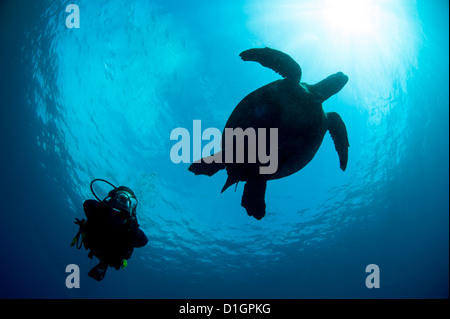 Hawksbill turtle (Eretmochelys imbricata) and diver, Sulawesi, Indonesia, Southeast Asia, Asia - Stock Photo
