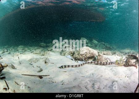 Banded snake eel (Myrichthys colubrinus), Sulawesi, Indonesia, Southeast Asia, Asia - Stock Photo