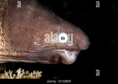 Deformed white eyed moray eel (Siderea thysoidea), Sulawesi, Indonesia, Southeast Asia, Asia - Stock Photo