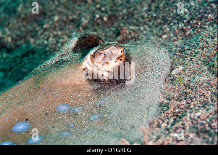 Blue spotted stingray (Taeniura lymma), Sulawesi, Indonesia, Southeast Asia, Asia - Stock Photo