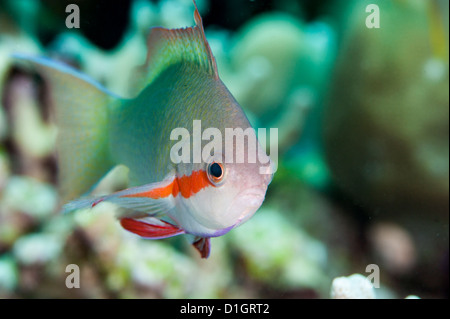 Threadfin anthias (Pseudanthias huchti) male, Sulawesi, Indonesia, Southeast Asia, Asia - Stock Photo
