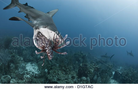 Caribbean reef shark (Carcharhinus perezii) eating lionfish (Pterois volitans), Roatan, Bay Islands, Honduras, Caribbean - Stock Photo