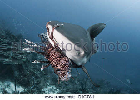 Caribbean reef shark (Carcharhinus perezii) eating lionfish (Pterois volitans), Roatan, Bay Islands, Honduras, Caribbean - Stock Photo
