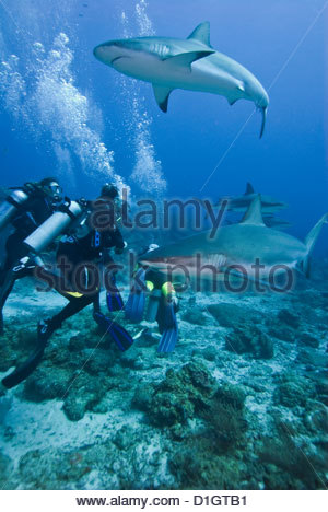 Caribbean reef shark (Carcharhinus perezii) swimming with divers, Roatan, Bay Islands, Honduras, Caribbean, Central - Stock Photo