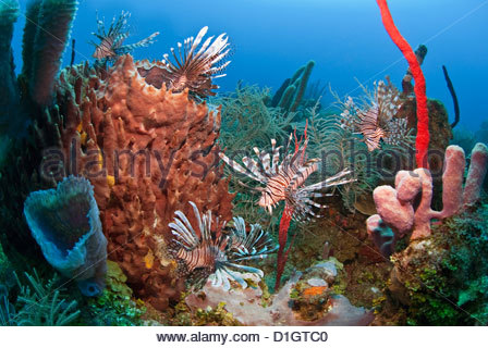 Many lionfish (Pterois volitans) and giant barrel sponge (Xestospongia muta), Roatan, Bay Islands, Honduras, Caribbean - Stock Photo