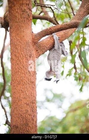 Koala Bear (Phascolarctos cinereus) at Port Macquarie Koala Bear Hospital, New South Wales, Australia, Pacific - Stock Photo