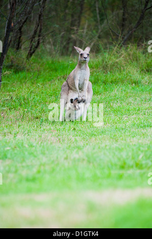 Eastern grey kangaroo mother with a baby joey in her pouch in the Blue Mountains Area, New South Wales, Australia - Stock Photo