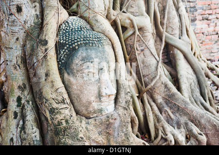 Large stone Buddha head in fig tree roots, Wat Mahathat, Ayutthaya City, Thailand, Southeast Asia, Asia - Stock Photo
