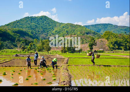 Lahu tribe people planting rice in rice paddy fields, Chiang Rai, Thailand, Southeast Asia, Asia - Stock Photo