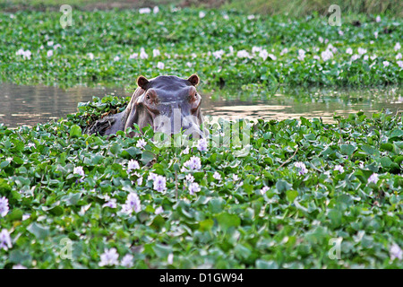 A Hippo watching amongst the water hyacinth - Stock Photo