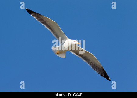 Lesser black-backed gull (Larus fuscus) in flight - Stock Photo