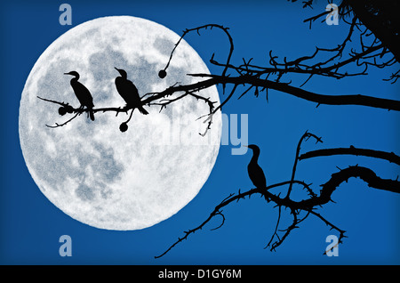 Three cormorants are sitting in a tree. They are silhouetted by a big, beautiful, full moon. - Stock Photo