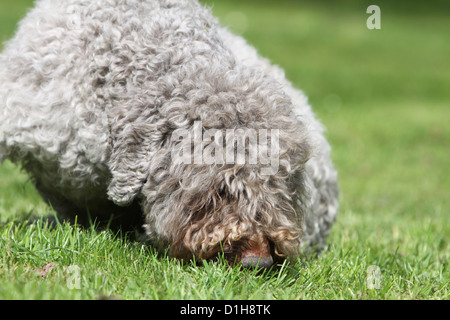 Dog Lagotto Romagnolo truffle dog - Stock Photo
