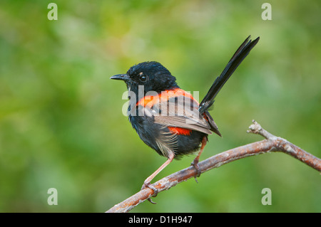 Red-backed Fairywren sitting on a twig. - Stock Photo