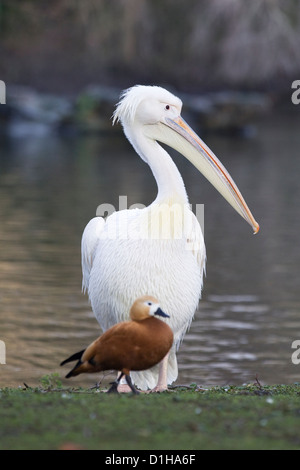 pelicans on the lake in London England American White Pelican Pelecanus erythrorhynchos - Stock Photo