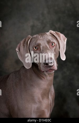 Vertical studio head and shoulders image of a beautiful Weimaraner dog on a dark toned green and gray background. - Stock Photo