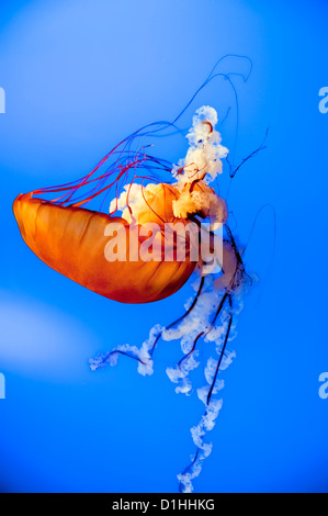 Jellyfish close up while swimming down in the deep blue sea - Stock Photo