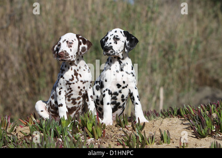 Dog Dalmatian / Dalmatiner / Dalmatien two puppies different colors sitting on the sand - Stock Photo