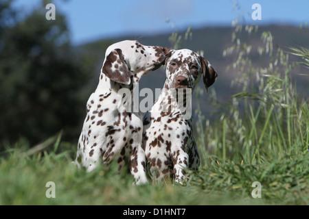 Dog Dalmatian / Dalmatiner / Dalmatien two puppies cuddly - Stock Photo
