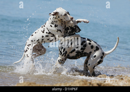 Dog Dalmatian / Dalmatiner / Dalmatien two adults playing in the sea - Stock Photo
