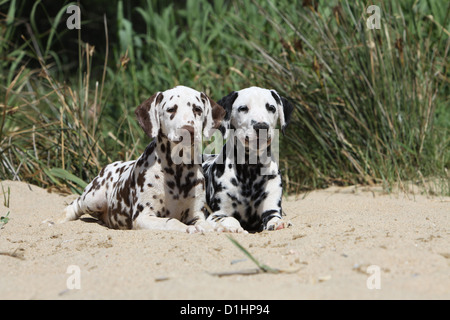 Dog Dalmatian / Dalmatiner / Dalmatien two puppies different colors lying on the sand - Stock Photo