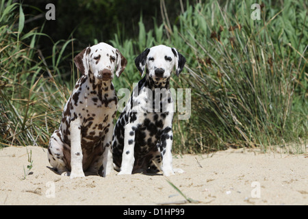 Dog Dalmatian / Dalmatiner / Dalmatien two puppies different colors sitting on the beach - Stock Photo