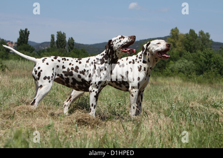 Dog Dalmatian / Dalmatiner / Dalmatien two adults standing in a meadow - Stock Photo