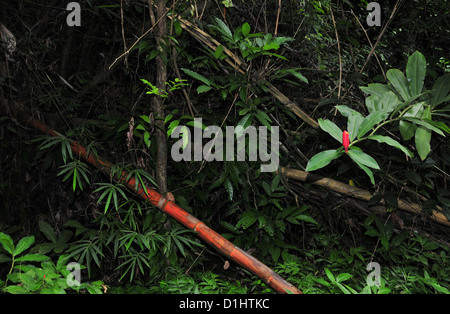 Rain forest thicket view Red Ginger flower, red sugar cane stalk lying green leaves, Grand Etang Forest, Grenada, - Stock Photo