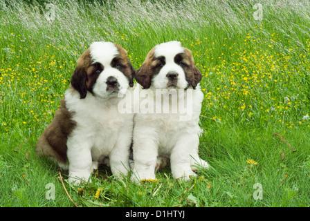 Young Saint Bernard Puppy dogs - Stock Photo