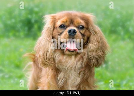 Cavalier King Charles Spaniel dog in the garden - Stock Photo