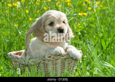 Portrait of young cute American Cocker Spaniel dog in the garden - Stock Photo